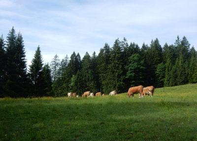 Kühe beim Frühstück auf der Niglalm