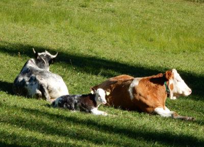 .. hübsche Kühe
