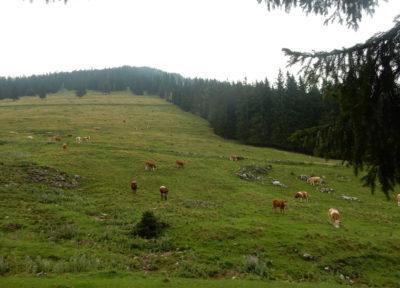 Die Hinteralm: viele Kühe