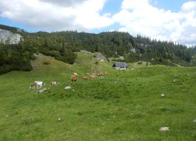 Kühe auf der Androthalm