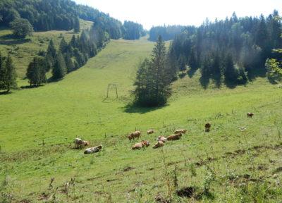 Entspannde Kühe auf der Niglalm